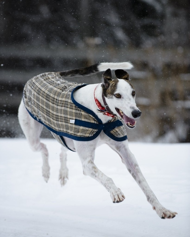 Walter is a greyhound that was rescued from a racetrack in Idaho last year.