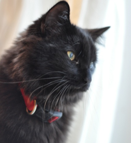 sam missing cat ottawa